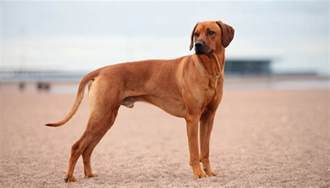 20 best short hair dog breeds that are easy to groom