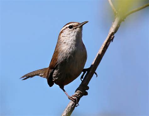 song birds of the pacific northwest the bird nerd
