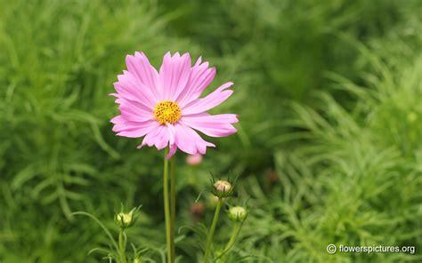 picture of cosmos flower cosmos bipinnatus cosmos