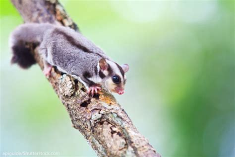 sugar glider facts sugar glider facts for kids information with pictures video