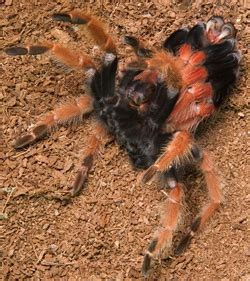 do tarantulas molt pet tarantula molting growth tarantula guide