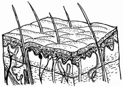 System Layers Skin Integumentary Epidermis Anatomy Layer