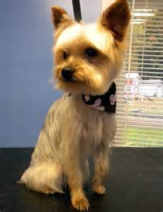Short Yorkie Haircuts Teddy Bear Pictures