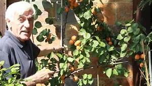 Aprikosenbaum Selber Ziehen : der marillenbaum im vol at gartentipp doovi ~ A.2002-acura-tl-radio.info Haus und Dekorationen