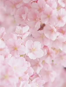 japanese cherry blossoms | Tumblr