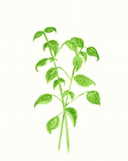 Basil Printable Herb Watercolor Sage Printables Graphics