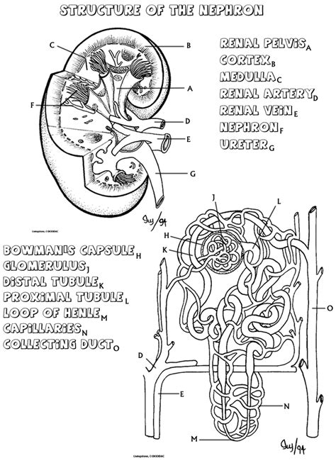 Kidney coloring that explains how the nephron works ...