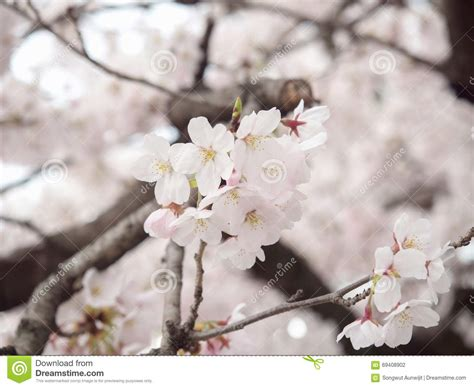 Cherry Blossom On Tree In Japan Stock Photo Image of