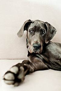 Blue Great Dane | Dog Love | Pinterest