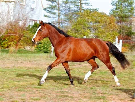 horse warmblood canadian quarter mare horses dawn nova assoc approved breeders breed premium