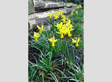 PlantFiles Pictures Cyclamineus Narcissus, Cyclamen