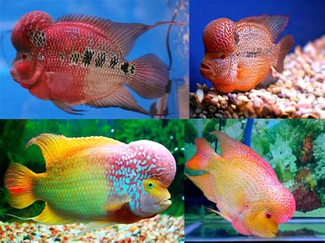freshwater aquarium fish flowerhorn cichlid top 10 most colorful freshwater fish aquarium fish pinterest cichlids