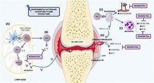 Rheumatoid Arthritis Mechanism And Resveratrol U2019s Role  The