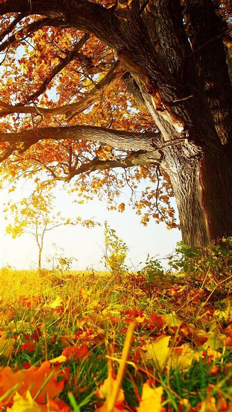 Fall Wallpaper For Iphone 7 Plus by Nature Fall Tree Leaves Iphone 6s Wallpapers Hd