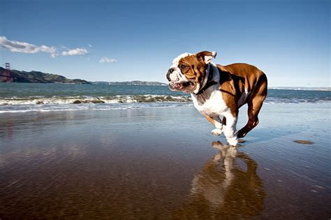 bulldog dog breed information pictures characteristics