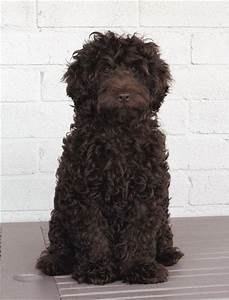 Portuguese Water Dog Information and Pictures | FallinPets
