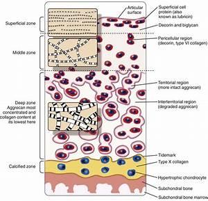 Cartilage And Chondrocytes