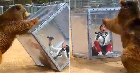 grizzly bear pushes glass box  screaming woman