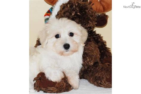 Havanese Puppy For Sale Near Columbus Ohio Ab