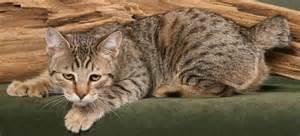 pixie bob cat amazing dogs breeds pixie bob cat