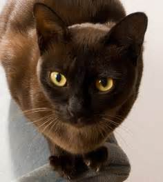 burmese cats the burmese cat a quieter cousin to the siamese
