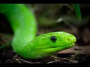 Die Grüne Regenrinne : giftschlangen teil 5 die gr ne mamba youtube ~ Eleganceandgraceweddings.com Haus und Dekorationen