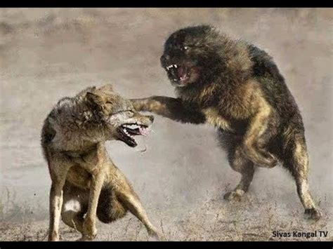 lone wolf   tibetan mastiffs youtube