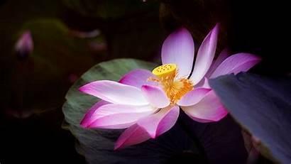 Lotus Flowers Wallpapers