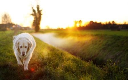 Morning Animal Wallpaper - morning walk dogs animals background wallpapers on