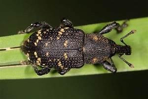 Großer Schwarzer Käfer Bilder : hylobius abietis gro er brauner r sselk fer k fer auf gras 1 hylobius abietis gro er ~ Frokenaadalensverden.com Haus und Dekorationen