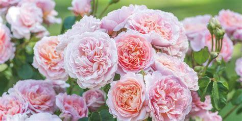 chelsea flower show  david austin roses debuts