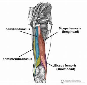 Right Thigh Muscle Diagram