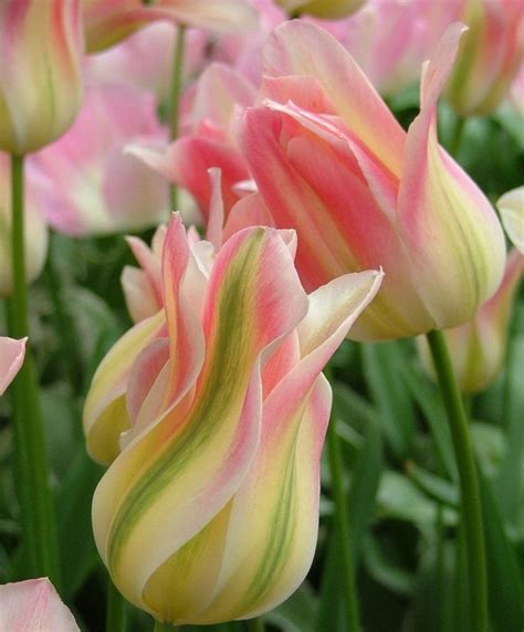 tulips the thrills 1000 images about all the colors of tulips on pinterest gardens spring and pink tulips