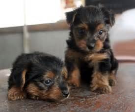 Best Small Puppies That Dont Shed by Top 10 Breeds That Don T Shed Animal Fair