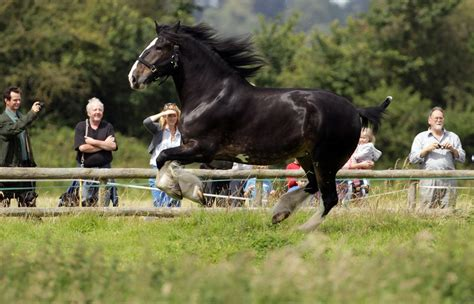 shire horse horses breed profile running getty max