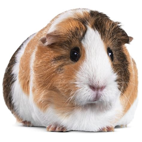 Guinea Pigs for Sale: Buy Live Guinea Pigs for Sale | Petco