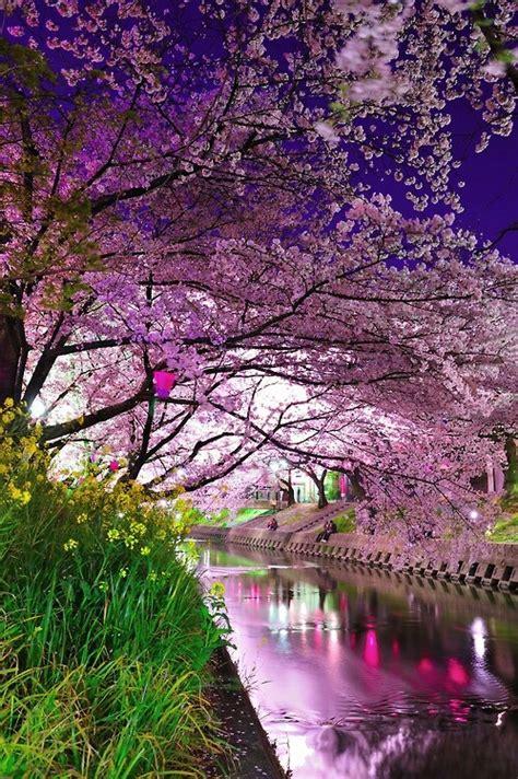 cherry blossoms  japan stellar interior design