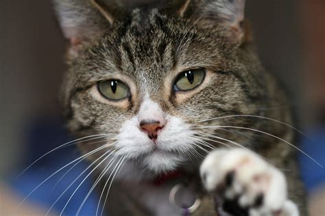 do cats shed their whiskers the debunker do cats use their whiskers for balance woot