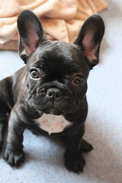 Bulldog French Gifs Dogs Prev Abyss Gifimage