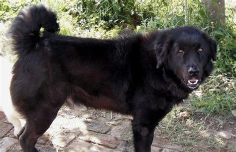 bakharwal dog stubborn fierce fluffy dog breed guide