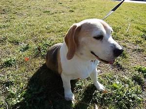 Pocket Beagle Mommy Pictures - Pocket Beagles Mini Beagle ...