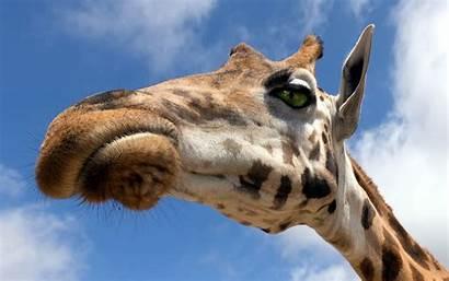 Giraffe Wallpapers Desktop Animal 1080 Background Backgrounds