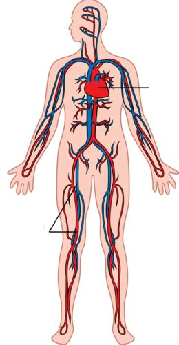 circulation  respiration circulatory  respiratory