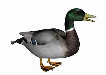 Duck Transparent Background Clipart Clip Resolution Wild