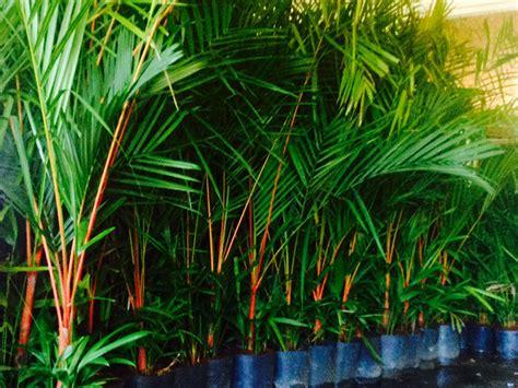 Linha Premium: Palmeira-laca Vermelha (Cyrtostachys renda)
