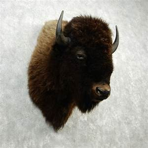 Buffalo Bison Shoulder Mount #12644 - The Taxidermy Store