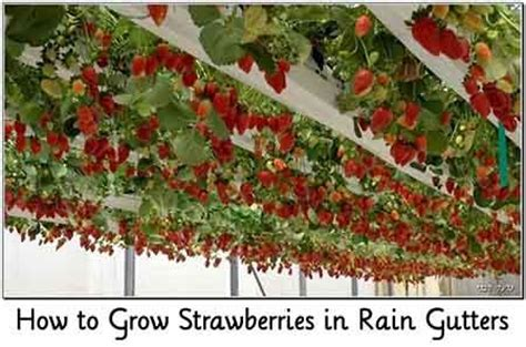 how to grow strawberries growing strawberries in a rain guttter articles of interest pinterest strawberries grow