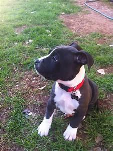 Image - Boxer-pitbull-mix-black-and-white.jpg | Koror ...