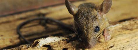 gegen ratten vorgehen schadnager gegen ratten und m 228 use vorgehen