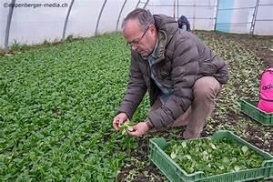Feldsalat Setzlinge Pflanzen : n sslersalat bringt frisches gr n ins wintermen eppenberger media gmbh ~ Frokenaadalensverden.com Haus und Dekorationen